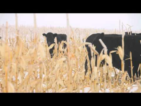 Winter grazing systems: Managing for acidosis in cattle