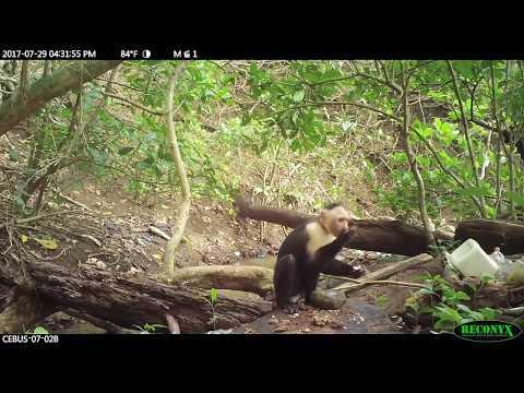 Monos panameños han iniciado su propia Edad de Piedra (VÍDEO)