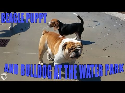 beagle and bulldog at the water park!