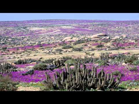 cile - il deserto di atacama si è trasformato in una prateria di fiori!