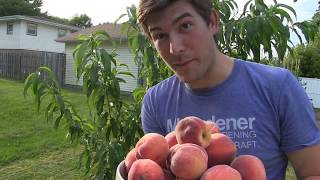 HUGE 100% Organic Peach Harvest!