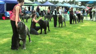 Nonton Association Of All Mastiff Breeds Of Victoria   9th Championship Show   Highlights Film Subtitle Indonesia Streaming Movie Download