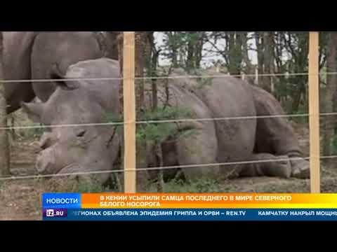 Последний в мире белый носорог усыплен в Кении (видео)