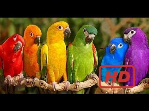 Video Documentary Birds Parrots Majestic Birds Nature Documentary HD download in MP3, 3GP, MP4, WEBM, AVI, FLV January 2017