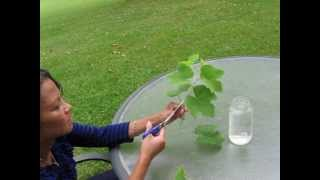 This short video shows how easy it is to grow a successful grape vine from a just a branch of an existing plant.