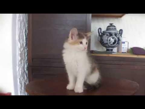 Vendita cuccioli gatti norvegesi delle foreste