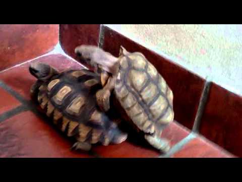 Come si accoppiano le tartarughe