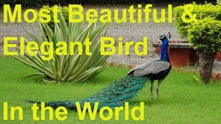 The Peacock - The Most Beautiful and Amazing Bird in the World [BEST OF ANIMALS]