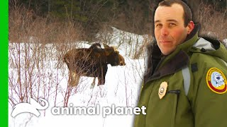 CO Checks On A Moose That Could Have Brain Worms | North Woods Law by Animal Planet