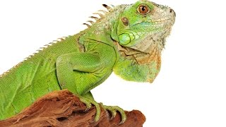 Iguana Care YouTube video