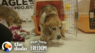 Beagle Who Spent Years In A Lab Cage Finally Gets A Family | The Dodo First Taste Of Freedom by The Dodo
