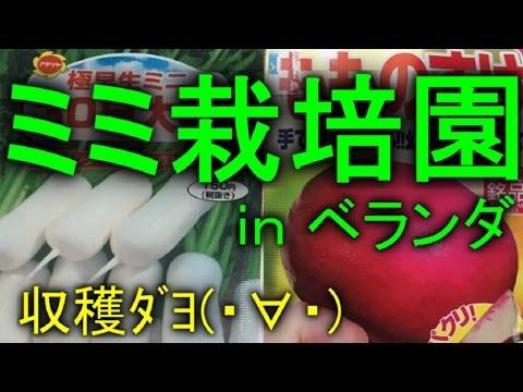 【ミミ栽培園】ミニ大根/もものすけ(サラダカブ)収穫