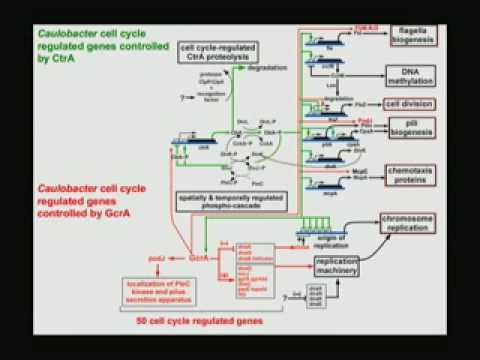 Die Systemarchitektur eines Bacterial Cell Cycle