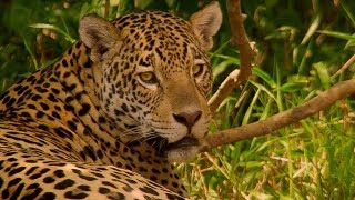 Jaguar Mating In Brazil - BBC Earth