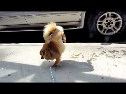 My Dog Walking On His Front Legs / Hands While Peeing In Circles