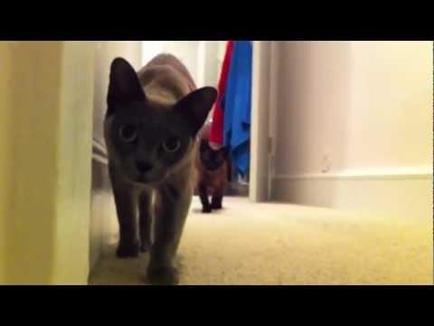 Stalking Burmese Cats (Video)