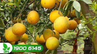Trồng trọt | Cách bón phân để cây bưởi Diễn cho quả ngọt