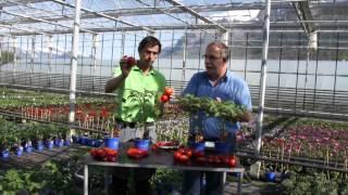 #607 Ernte und Lagerung von Tomaten