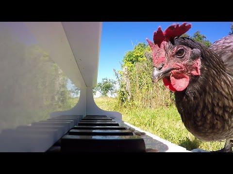 Kana joka soittelee pianoa