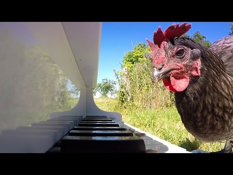 Chicken Pianist Performs Beautiful Sonata