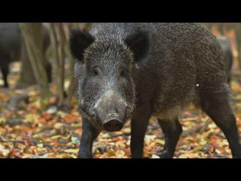 Feral Hogs: No Meme   Call Me Stormy
