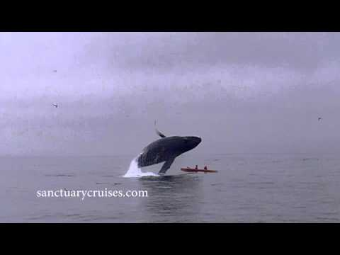 This is One Humpback Whale That is Over Whale-Watching Tourists