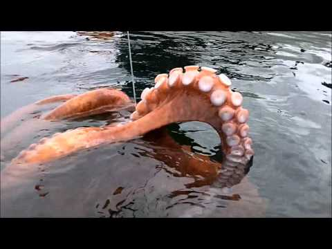 amazing capture of a giant octopus with fishing rod!