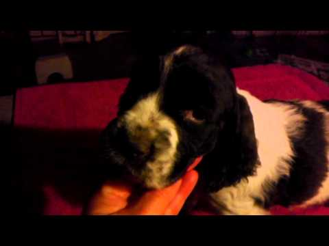 Racer - English Springer Spaniel Pu