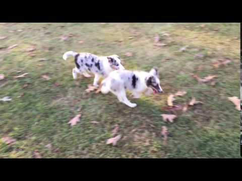 AKC Blue Merle Sheltie Male