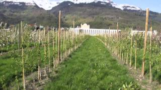 #177 Further breeding of Maloni dwarf apple trees