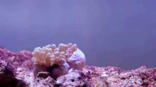 Baby Anenome HD - Timelapse (12mins)