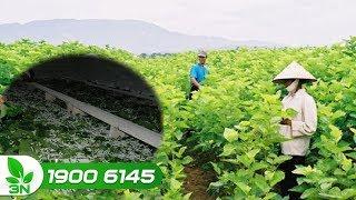 Nông nghiệp | Chuyển đổi đất lúa kém hiệu quả sang trồng dâu, nuôi tằm