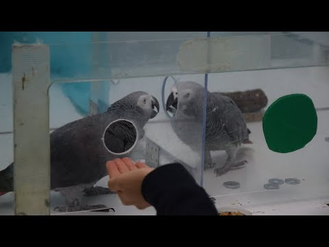 Verhaltensexperimente zeigen: Papageien sind hilfsbereit