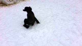 Crazy Funny Poodle Spin...