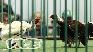 The Canary Islands are one of the few places in the world where cockfighting is legal. VICE's Pedro Garcia meets the men who...