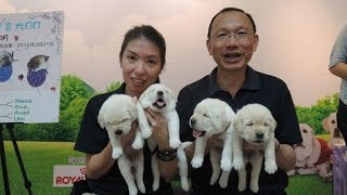 <h5>香港本土繁殖的第一胎導盲幼犬誕生 </h5>