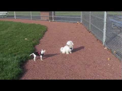Maltese bichon mix stay 2 vs Chihuahua