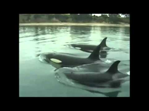 dolphins in captivity essay There are currently 42 orcas in captivity worldwide  facts about killer whales in captivity  dolphins & whales, orcas, seaworld oceans of trash.