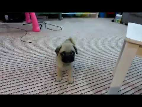 Pug puppy male 8 weeks