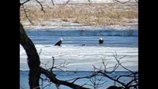 Berlin (WI) United States  city photos gallery : Eagles at play on the Fox River Berlin Wisconsin