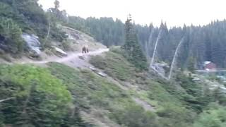 Video Grizzly Bear encounter in Glacier National Park in Montana! Part 2 MP3, 3GP, MP4, WEBM, AVI, FLV Agustus 2017