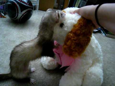 Ferret Attacking Stuffed Animal