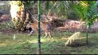 Video Harimau Sumatera Liar berkeliaran di Kebun Warga di Riau MP3, 3GP, MP4, WEBM, AVI, FLV November 2017