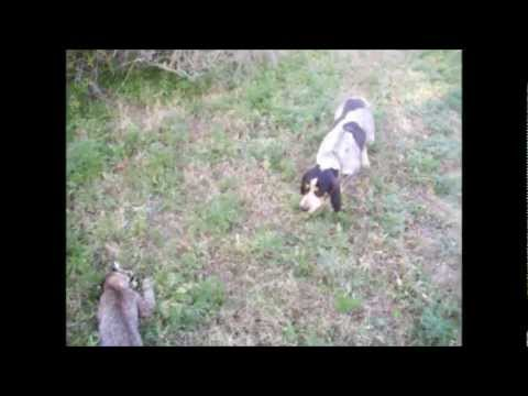 Bluetick pup training start to finished hound six weeks to two years