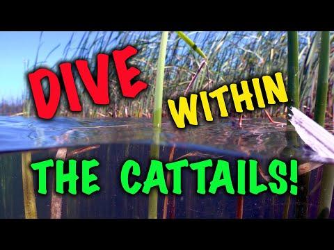 Underwater Study Within a Cattail BedUnderwater Study Within a Cattail Bed<media:title />