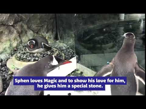 #LoveWins Sphen and Magic Penguin Couple_Aquarium. Best of the week