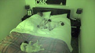 Jak to jest spać z trzema mopsami? [FILMIK]