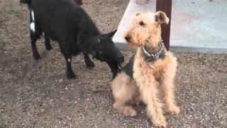 Funny Goat Tries To Get Dog's Attention!