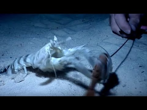 shrimps - Steve and his team delve deep for the mantis shrimp to capture these amazing ambush predators on film in the wild. Just like its insect namesake, the mantis ...