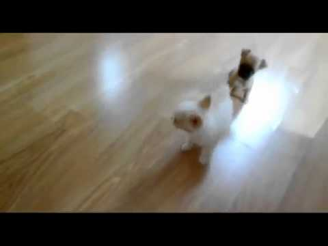 Honey Cute Teacup Chihuahua Puppies